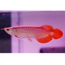 Golden red, chili red Arowana, Asia red arowana fish for sale
