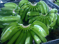 Best price Fresh Cavendish Banana from Ecuador