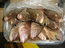 High quality all size yellow croaker frozen fish