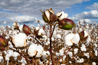 Organic Soil Supplement for Improved Growth of Cotton