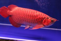 Chili Red Arowana Fish Available on sale