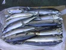 Frozen Atlantic Mackerel Fish and others (Horse ,Jack)