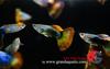 Guppy fish XXL size for aquarium fish export