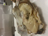 live pacific oyster
