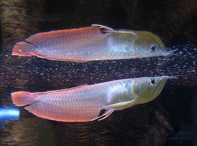 Arowana fish for sale buy red arowana fish product on for Arowana fish for sale online