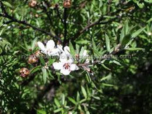 Pure and Natural Tea Tree Oil