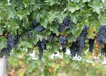 Fresh Grapes for sell in bulk to wine producers