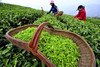 Green Tea Manufactures and Suppliers