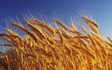 Wheat for animal feed