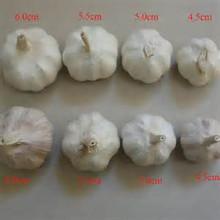 Pure White Garlic