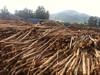 Eucalyptus Logs at competitive price