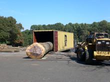 Exotic Amber wood gigantic logs