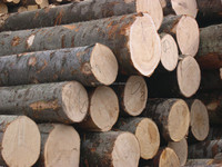 ASH LOGS FROM LITHUANIA/LATVIA/UKRAINE (Fraxinus excelsior)