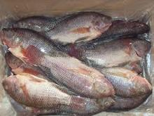 Grade A Frozen Red Tilapia and Bonito Ready For Middle East Market