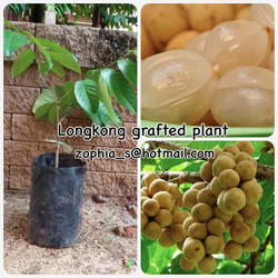 1 Lansium demesticum Plants - Fruit Plant+Photo Certificate NOT SHIP TO EUROPE