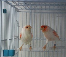 Live Canary Birds; Finches, Yorkshire, Lancashire, Love Birds Canaries
