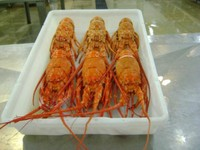 Whole Frozen Raw or Cooked Lobster and Tails