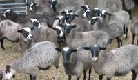 Live sheep for sale, livestock