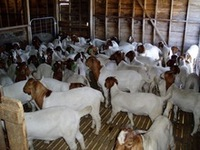 100% Full Blood Boer Goats, Live Sheep, Cattle, Lambs and Cows Ready for Export available