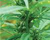 2015 New Hemp seeds