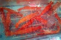live spot prawn