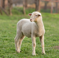 Domestic Lamb and sheep probiotics to improve useful bacteria in digestive system