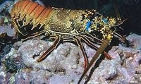 Fresh Live Lobster's Available for Sale
