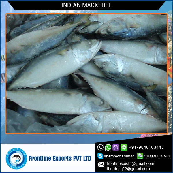 Frozen mackerel whole fish supplier at wholesale price for Best frozen fish