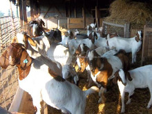 Boer Goats, Holstein heifers, Cows, Camels, Sheeps, Boer Goats for Sale