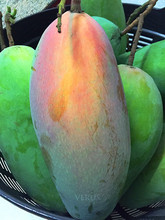 !!! Thai Mango MaHa Cha Nok !!! [ Mango Exporter ]