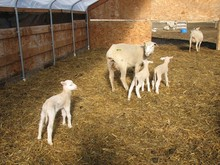Awasi sheep, lamb and Full Blood Boer Goats for sale