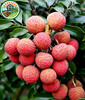 Fresh Fruit from Viet Nam with High Quality and Competitive Price Whole Lychee