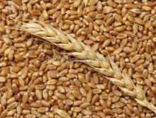Wheat for animal feed from Ukraine