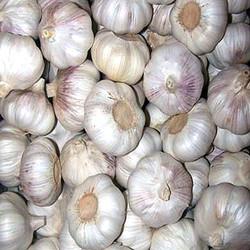 2015 fresh garlic price