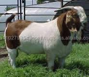 Live boer goats , Live goat , Live Sheep