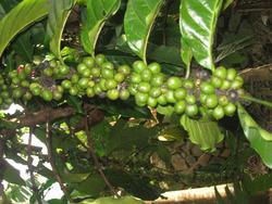ROBUSTA COFFEE GREEN BEAN INDONESIAN