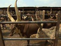 ox/cow horn