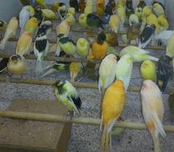 Live Canary Birds; Finches, Yorkshire, Lancashire, Love Birds For Sale