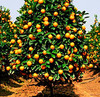 Fresh Valencia Orange, Lemon, Pomelo Grapefruits and Citrus Fruits New Crop Wholesale Prices