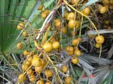 saw palmetto extract oil with fatty acid