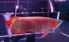 Quality Arowana Fish Available from Thailand Now