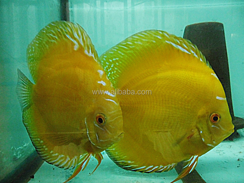 Farm Malaysia Sale Discus Fish Farm For Sale And