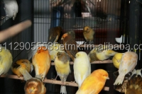 All Finches, Live Canary Birds Yorkshire, Lancashire, Love Birds Crested canary birds