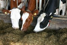 Quality Grade A Live Dairy Cows and Pregnant Holstein Heifers Cows Available