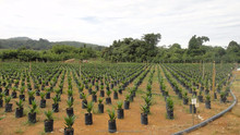 High Output and Less Disease Malaysia Palm Oil Tree Seeding