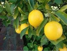 Fresh Lemon in india