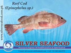 REEF COD.Epinephelus Sp