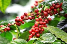 Organic Biostimulant for Coffee Plantation