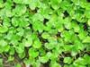cetella asiastica leaves
