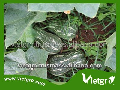 High Yield F1 Hybrid Red Pumpkin Seed VGP011